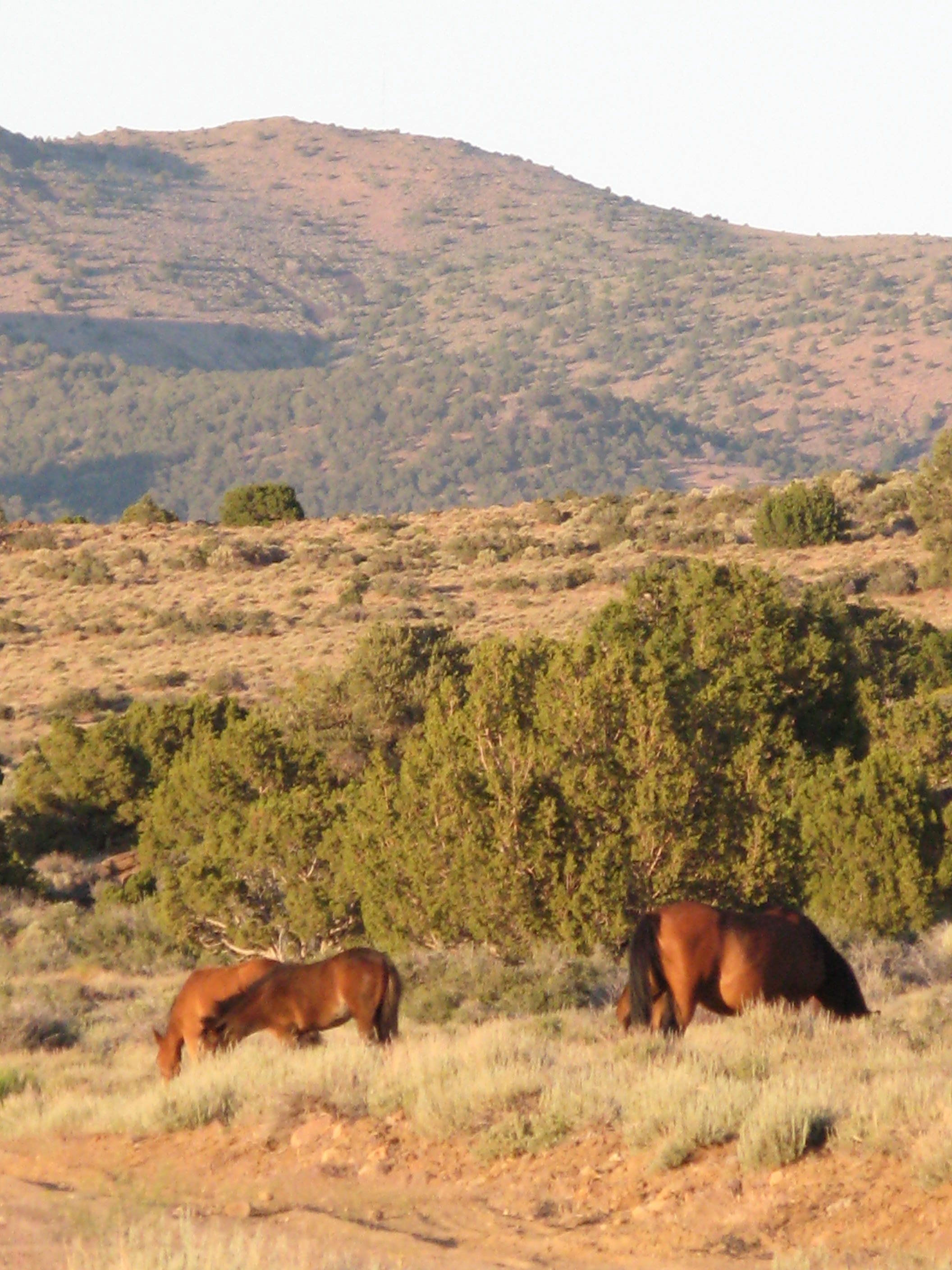 VA range wild horse (Photo ©Anne Novak)
