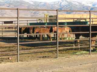 MUSTANG Captured Young Wild Horses Dec 27, 2010