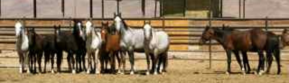 California native wild horses who were sold to alleged kill buyers. (Photo © Anne Novak, all rights reserved.)