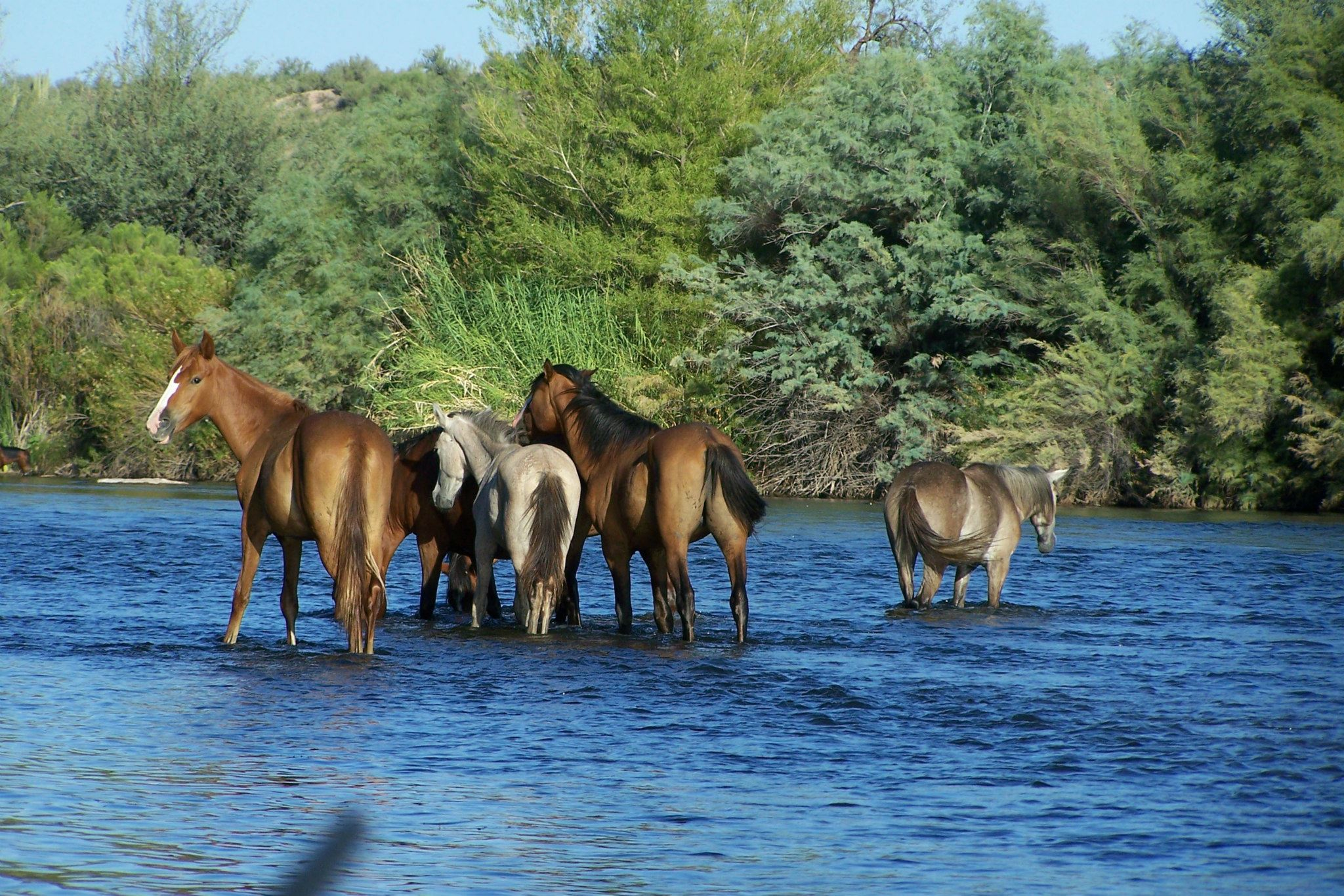 Ecological Report On Salt River Az Wild Horse Herd