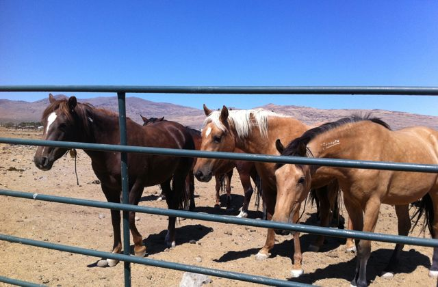 Wild horse mares in holding (Photo  Anne Novak, all rights reserved.)