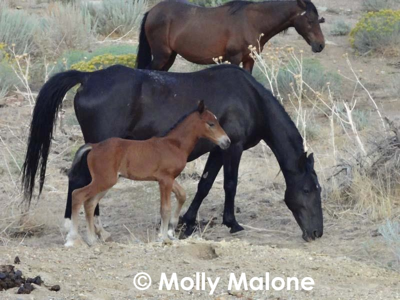 Native wild horse mare and foal. (Photo © Molly Malone)