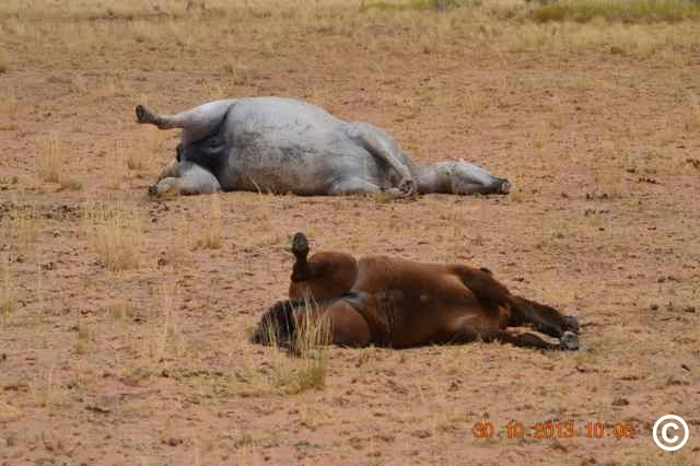 Brumbies are Australian heritage wild horses. Witnesses found them shot and killed (Copyright protected)