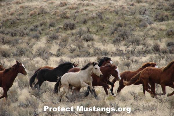 PM BLM Wild Horses Running