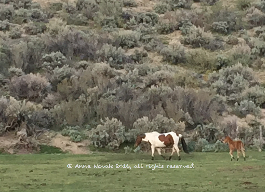 AWHI WY14 West Foal April 24 2016 FB